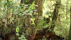 Sun kissed ferns in a British Columbian rain forest. Stock Footage