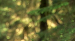 A spruce tree branch in a British Columbian rain forest. (Tilt) Stock Footage
