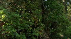 A tall tree in a British Columbian rain forest. (Tilt) - stock footage