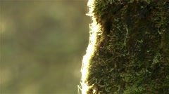 Smoke coming out of a tree in a British Columbian rain forest. - stock footage