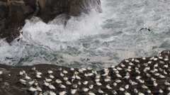 Gannet Colonies, Ocean and Cliffs - stock footage