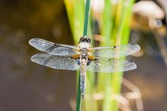 The four-spotted chaser (Libellula quadrimaculata) Stock Photos