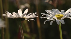 Pair of snow daisies at the foot of the Bugaboo Mountains. Stock Footage