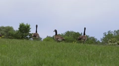 Canadian Geese stand in a field. Stock Footage