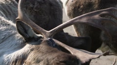 Stock Video Footage of Caribou and its Antlers (part 3)