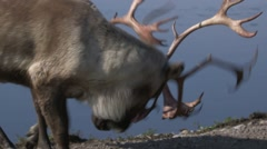 Disputes of dominance among a small herd of caribou. - stock footage