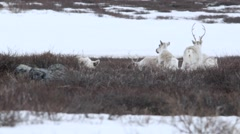 Group of caribou milling in grass patch. Stock Footage