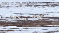 Group of caribou cross the frozen tundra.  They take a brief break and set off Stock Footage
