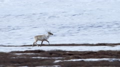 Stock Video Footage of Caribou migrating