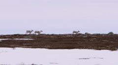 Stock Video Footage of Caribou on the Horizon
