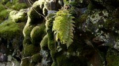 Water dripping from plants on a rocky wall near a waterfall. Stock Footage