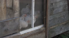 Chickens looking out from there coop in a barn. Stock Footage