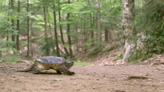 Common Snapping Turtle slowly walking on a dirt path in a forest. (Dolly Shot) Stock Footage