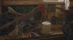 A group of roosters in their pen in a barn. Stock Footage