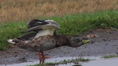 A Female mallard bathing in a puddle. Stock Footage