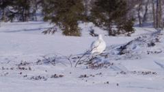 Female Ptarmigan bird walking around in the arctic. Stock Footage
