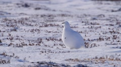 Female Ptarmigan birds walking around in the arctic. - stock footage