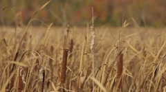 Field of tall grass in an Ontario forest clearing. (Tilt) Stock Footage
