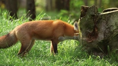 Fox pawing at a dead tree stump in a lush woodland. Stock Footage