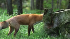 Fox pawing at a stump in a lush woodland. (Pan) Stock Footage