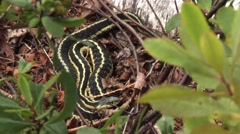 Garter snake hiding in leaves on the ground. Stock Footage