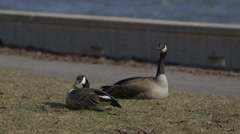 Pair of geese sitting on the shore of the Rideau River. - stock footage