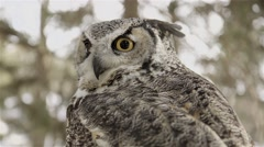 A large owl perched in Muskoka woodland observing the area. Stock Footage