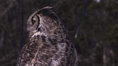 A large owl perched in Muskoka woodland observing the area. - stock footage