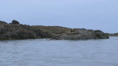Group of walruses sitting on a large rock on the Arctic shoreline. Stock Footage