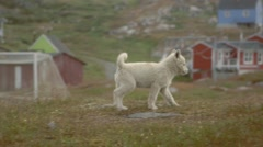 Two puppies hanging around a grassy Greenland field. Stock Footage