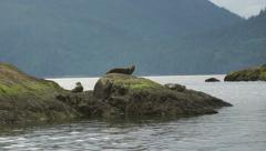 Seal Sliding off Rocks 01 60fps 1080p Stock Footage
