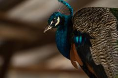 Lovely Peacock - stock photo