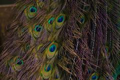 Lovely Peacock Feathers - stock photo