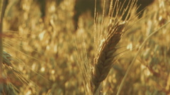 Cereal field. Sunset, golden hour. Various cereals. - stock footage