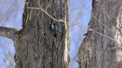 Male downy woodpecker pecking at a tree. Stock Footage
