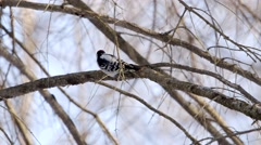 A male Downy Woodpecker pecking at a tree branch. Stock Footage