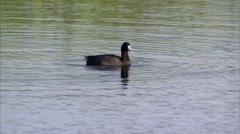 An American coot in a pond in the Manitoba countryside. Stock Footage