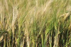 Beautiful summer wheat field. Ears close up Kuvituskuvat