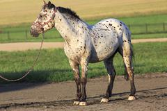 Altai native breed horse piebald or pied suit Stock Photos