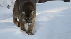 A mountain lion eats something in the snow. - stock footage