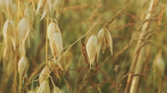 Cereal field. Sunset, golden hour. Various cereals. Stock Footage