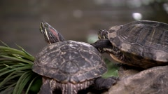 Stock Video Footage of Nova Scotia, Red eared slider turtles 2