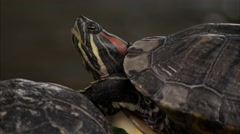 Stock Video Footage of Nova Scotia, Red eared slider turtles 4