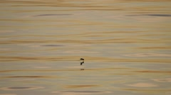 Tracking shot of a silhouetted seagull flying low to the water and eventually Stock Footage
