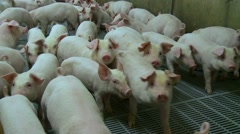 Group of pigs penned in a cage. Stock Footage