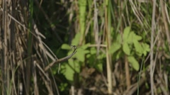 Dragonfly perched upon dead grass in Alfred Bog. Stock Footage