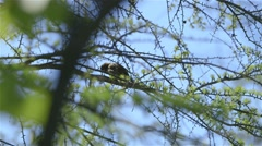 A house sparrow perched in a tree in Alfred Bog. Stock Footage