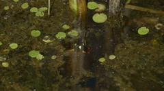 Painted turtle protruding from the water for air in Alfred Bog. Stock Footage