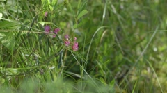 Sheep Laurel flowers growing in the marshland of Alfred Bog. Stock Footage