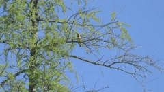 A waxwing bird in a tree in Alfred Bog. Stock Footage